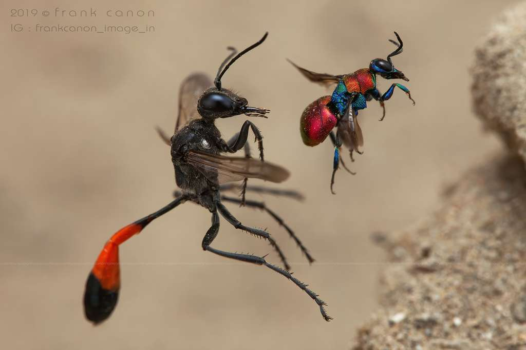 À gauche, une ammophile. À droite, une guêpe-coucou. Aussi belle soit-elle, cette dernière a tendance à pondre des œufs dans le nid d'autres insectes tels que les abeilles ou encore les guêpes. De plus, les larves se développent plus rapidement que leurs voisines et éclosent généralement avant les œufs de l'hôte. Elles peuvent ensuite se nourrir de ces œufs ou de ces larves. © Frank Deschandol
