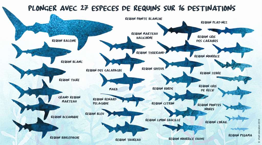 Shark Education propose de découvrir ces 27 espèces de requins dans leur milieu naturel à travers 16 destinations de plongée aux quatre coins du monde. © Shark Education