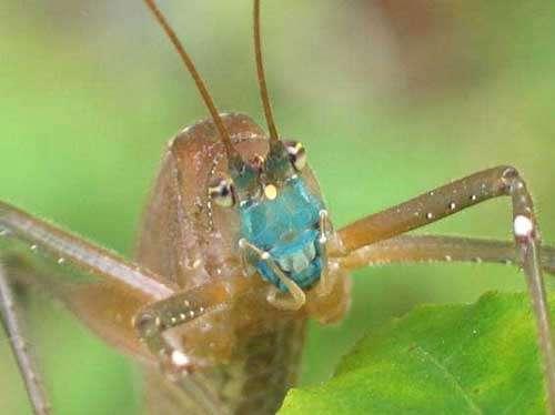 Sauterelle à tête bleue - Copyright Projet Ibisca - Tous droits réservés
