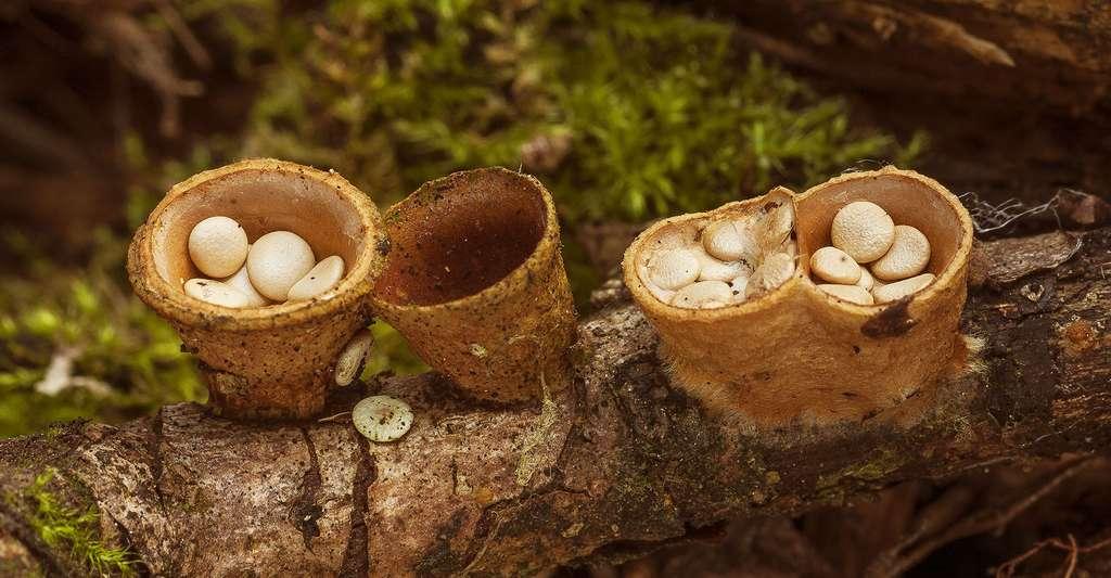La toxicité du crucibule lisse (Crucibulum laeve) reste inconnue. © John Navajo, Shutterstock
