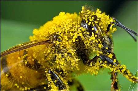 Abeille couverte de pollen. © Macro Nasa