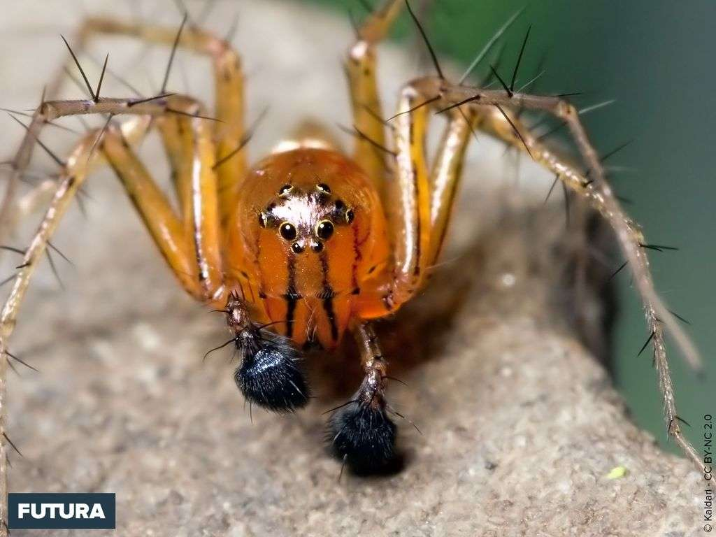 Araignée lynx - Oxyopes salticus