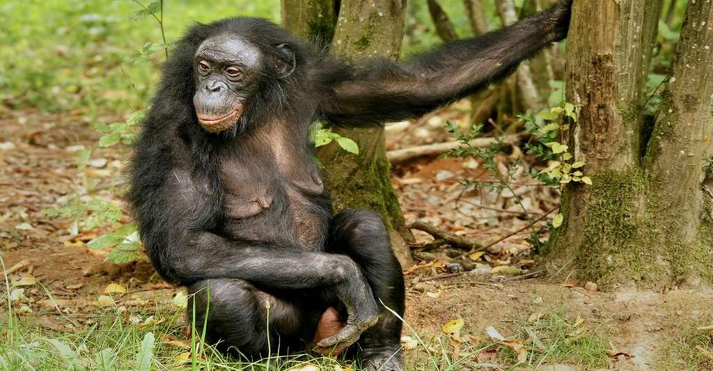 Femelle bonobo. © Hans Hillewaert, CC BY-SA 3.0