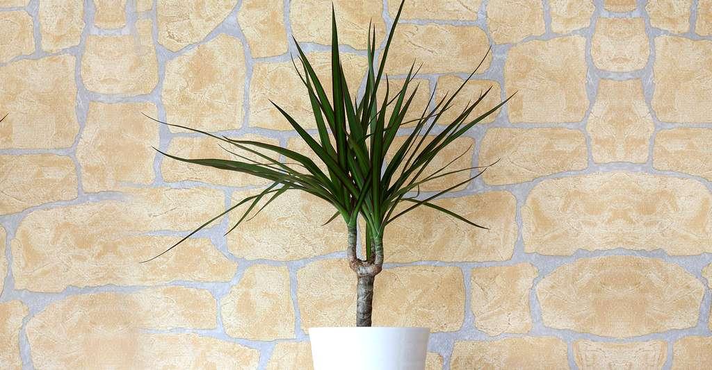 Dracaena marginata est une plante aux feuilles lancéolées (en forme de lances). © Loflo69, Shuttestock