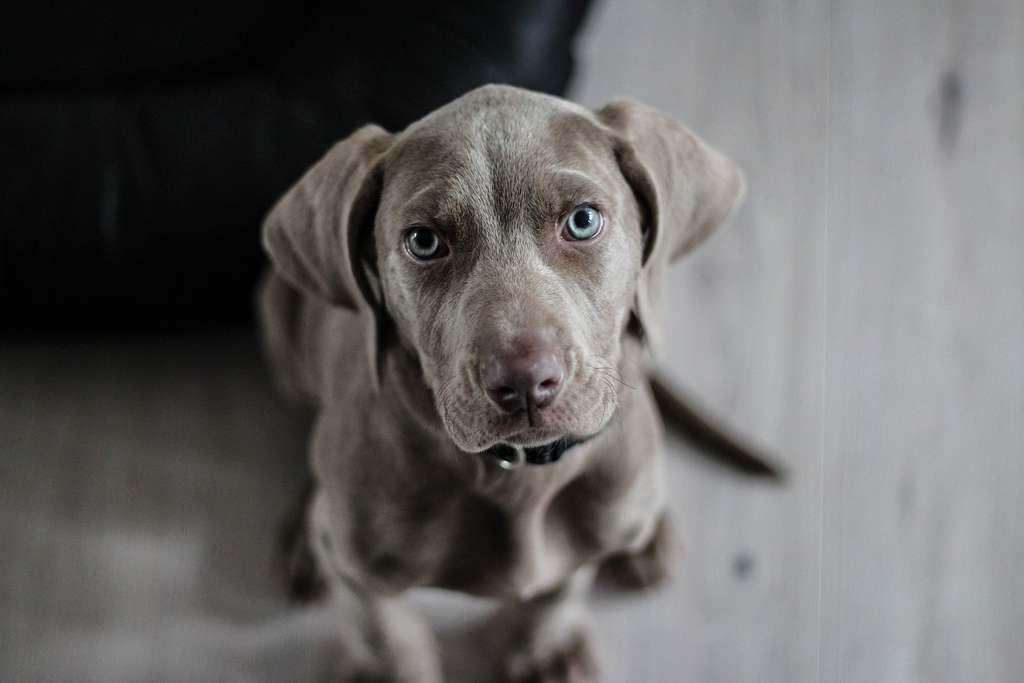 La meilleure prévention pour une personne allergique aux chiens est d'éviter tout contact avec eux. © Pixabay