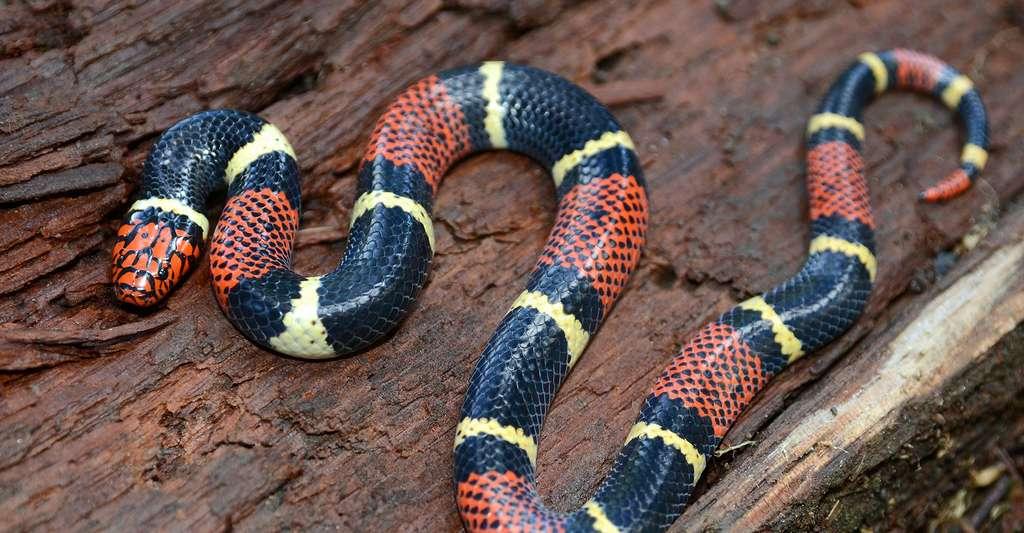 Serpent corail du Surinam (Micrurus surinamensis). © Patrick K. Campbell - Shutterstock