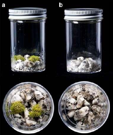Les chercheurs ont testé l'altération des roches par une mousse sur du granite. À gauche la mousse s'est développée (à droite : témoin) en altérant la roche (temps de l'expérience : 130 jours). © Lenton et al. 2012, Nature Geoscience