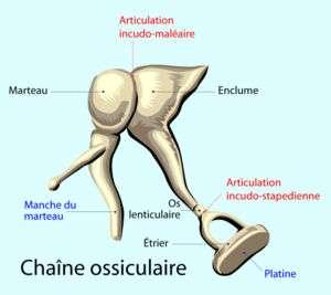 Schéma des osselets de l'oreille interne. © DR