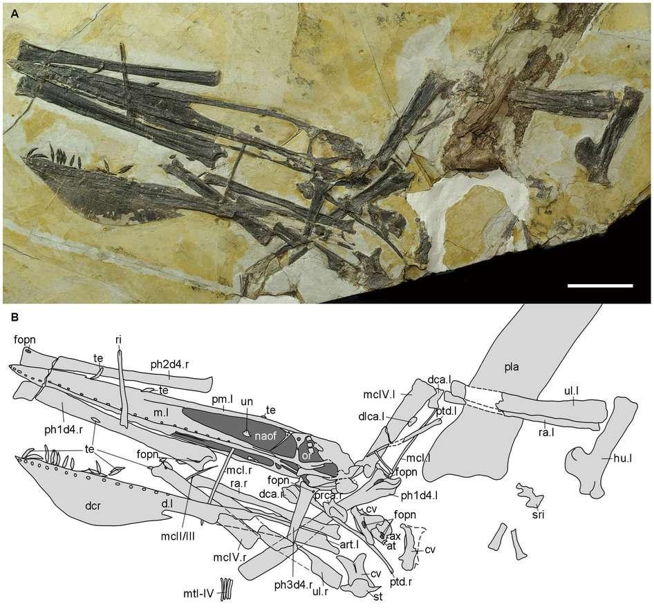 Squelette presque complet de l'holotype d'Ikrandraco avatar (photographie et schéma). Échelle : 50 mm. Cette espèce est relativement petite ; environ 70 cm de long et 1,5 m d'envergure. © Wang et al., Scientific Reports