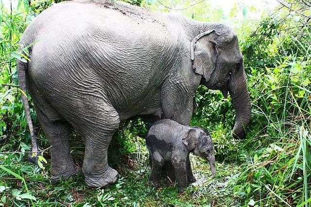 Le génome de l'éléphant d'Asie permet de mieux cerner par comparaison les spécificités de celui du mammouth laineux avec lequel il est étroitement lié. © Fabien Bastide, Wikimedia Commons, cc by sa 3.0