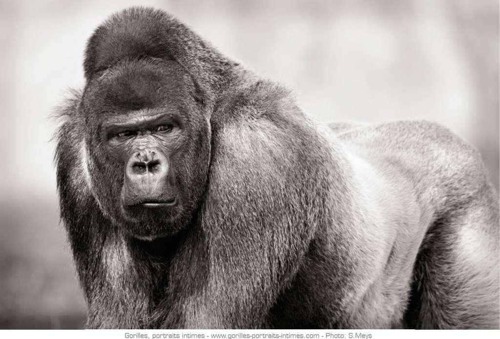 Mâle dominant aussi appelé dos argenté chez les gorilles