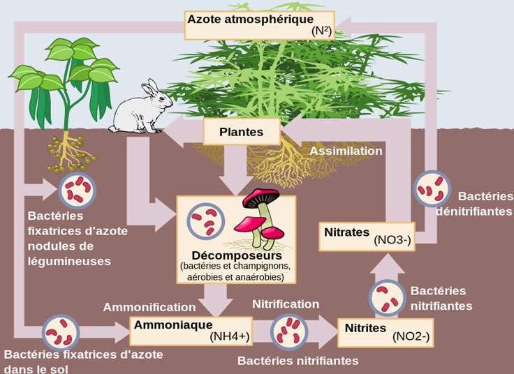Représentation simplifiée du cycle de l'azote, illustrant les différentes étapes de ce cycle et le rôle nodal des bactéries dans ce cycle. © Nojhan, CC Paternité – Partage des conditions initiales à l'identique 3.0 Unported