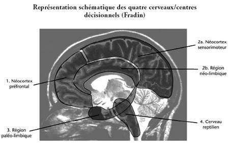 Représentation schématique des quatre cerveaux/centres décisionnels (Fradin)