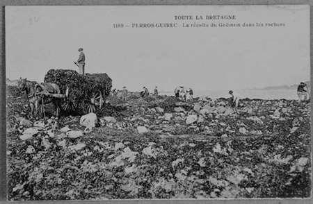 Perros-Guirec, récolte du goémon