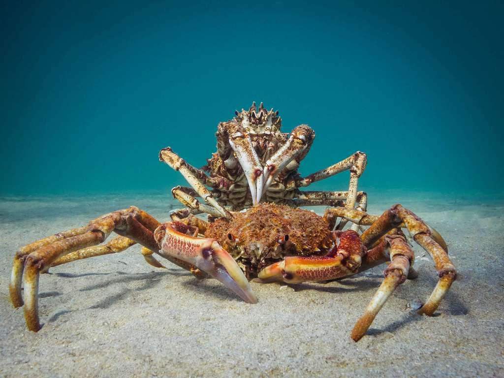 « Le crabe cannibale ». © PT Hirschfield, Ocean Art Competition 2018