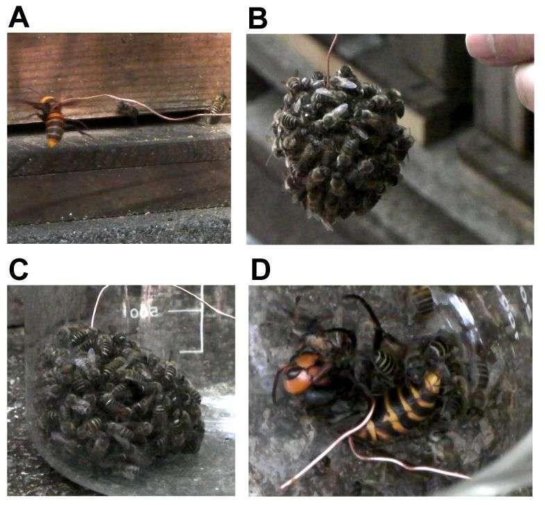 Un frelon attaché par un lien (A) a été introduit dans une ruche. Les abeilles ont alors formé une boule autour de lui (B). En tirant sur le fil, les scientifiques ont pu récupérer cette structure (C) pour prélever des spécimens à analyser. Le frelon est mort en 60 minutes (D). © Ugajin et al. 2012, Plos One