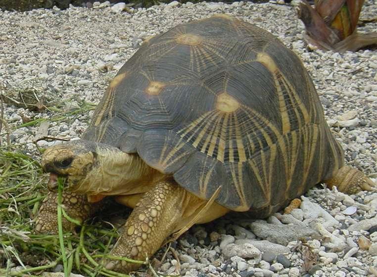 La tortue étoilée possède des motifs en rayons caractéristiques sur sa carapace. © Wikipédia, académie de La Réunion