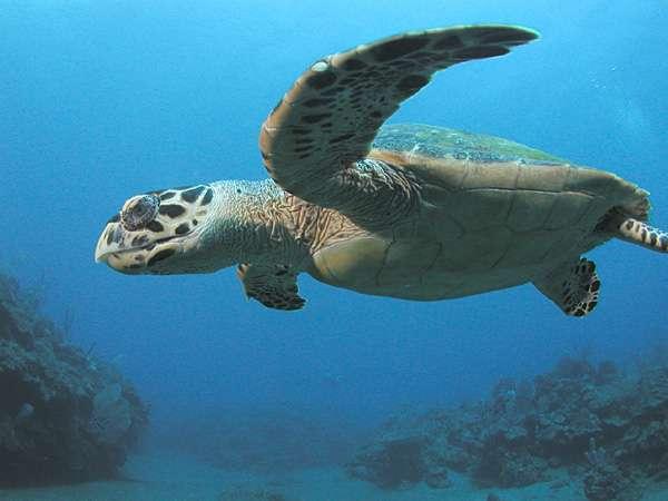 Tortue imbriquée des Antilles néerlandaises. © Clark Anderson/Aquaimages, CC BY-SA 2.5