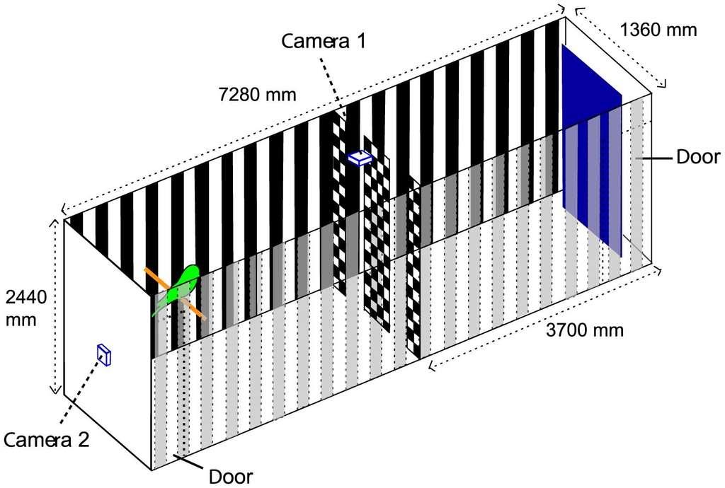 Des chercheurs ont placé des perruches dans un tunnel de plus 7 m de longueur équipé de caméras (doorindiquent les portes). Les oiseaux pouvaient passer, au choix, traverser la cloison centrale par l'une des ouvertures. Ils ont ainsi pu déterminer que certaines étaient « droitières » et d'autres « gauchères ». © Bhagavatula et al., Plos Computational Biology, 2014, cc by 4.0