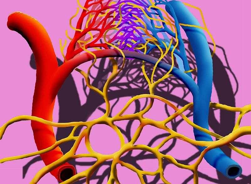 Le réseau lymphatique est composé de tous les vaisseaux qui font circuler la lymphe, un liquide biologique comparable au sang mais dépourvu de globules rouges. Le système lymphatique est ici représenté en jaune, alors que les vaisseaux sanguins sont en rouge (artères) et bleu (veines). © Lamiot, Wikimedia Commons, cc by sa 3.0