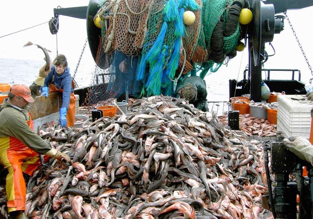 Peu de Français se rendent compte de ce que veut vraiment dire « pêche industrielle ». © John Wallace, NOAA/NMFS/NWFSC/FRAMD, Wikimedia commons, DP