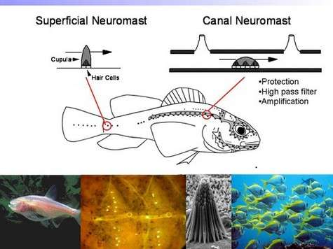 Sur le flanc d'un poisson, un alignement d'organes sensoriels mesure en permanence les variations de pression. Crédit : MNTR/Université de l'Illinois, Urbana-Champaign.