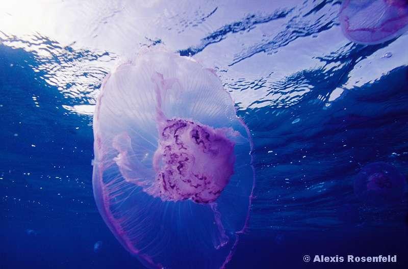 L'aurélie, la méduse commune