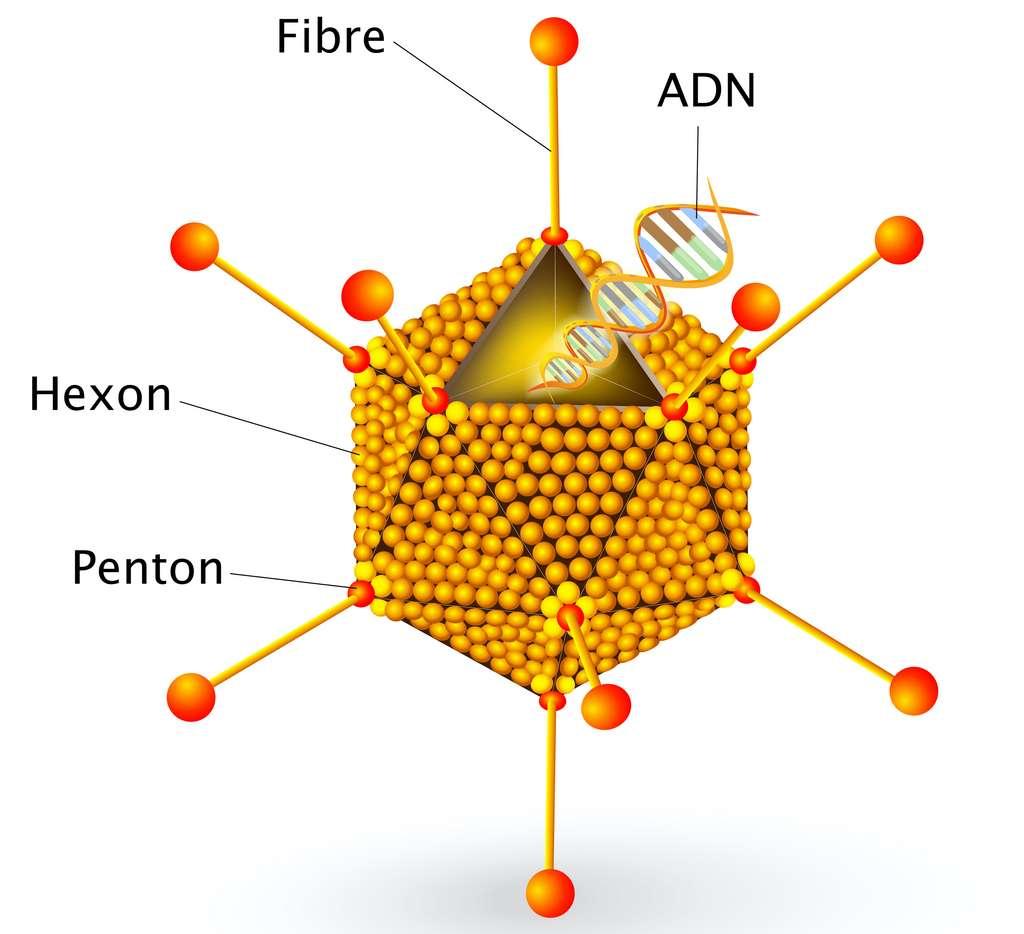 Les adénovirus sont entourés d'une capside de structure icosaédrique, avec trois types principaux types de protéines : hexon, penton et fibre. © designua, Adobe Stock