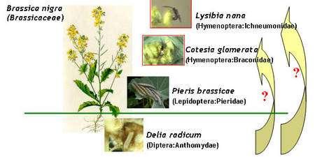 La chenille du petit diptère Delia radicum vit sur la moutarde noire, ou moutarde des champs (Brassica nigra). Elle en occupe le sous-sol et le rez-de-chaussée, et signale sa présence, ce qui peut intéresser la piéride du chou (Pieris brassicae), qui vit dans les étages supérieurs. Mais il semble bien que le message soit capté par un pirate, la guêpe parasite (Cotesia glomerata), qui cherche des chenilles dodues pour y pondre ses œufs. Oui mais l'hychneumonidé Lysibia nana est attiré lui aussi par la probabilité d'y trouver sa proie, la guêpe parasite, justement... © Department of Multitrophic Interactions (MTI)/NIOO