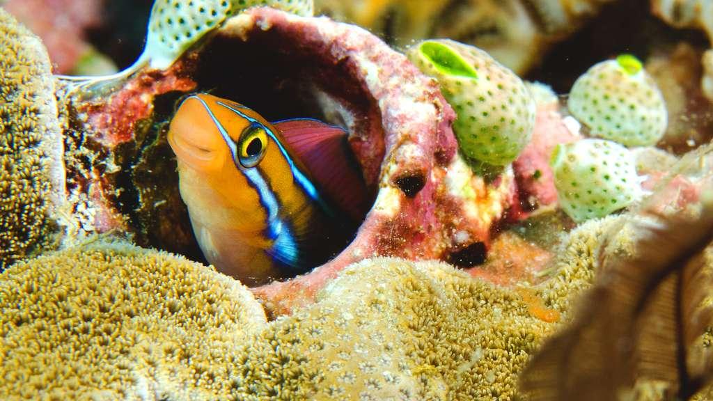 Une blennie à rayures bleues cachée dans les récifs coralliens