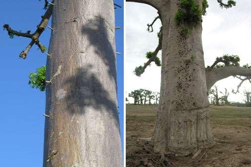 Tiges enfoncées dans les troncs de baobab pour en faciliter l'ascension (à droite) Traces laissées par d'anciennes tiges (à gauche) © S . Garnaud Reproduction et utilisation interdites