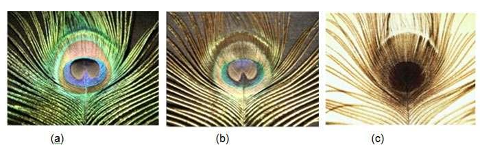 Les couleurs des plumes de paon varient en fonction de l'angle d'observation (a et b). Ces couleurs disparaissent lorsqu'on observe les plumes à l'envers et par transparence (c). © Bernard Valeur