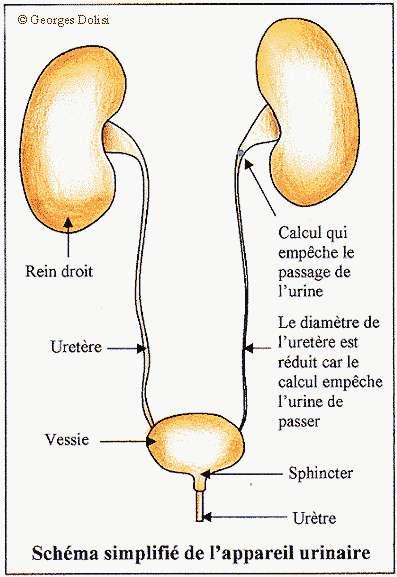 La cystite est une infection de l'appareil urinaire. Elle est due à une inflammation de la paroi de la vessie. ©Georges Dolisi, DR
