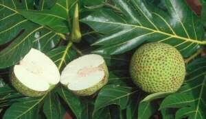 On peut manger le fruit de l'arbre à pain. © DR