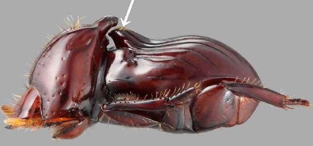 Ce scarabée Eocorythoderus incredibilis mesure 3 mm de long. L'excroissance indiquée par la flèche blanche correspond à la poignée saisie par les termites qui le transportent. Un nouveau genre a dû être créé pour classer cet insecte. © Maruyama 2012, Zootaxa