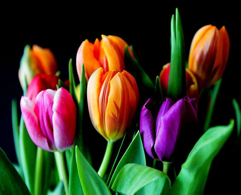 Des tulipes à Noël ? © Anelka, Pixabay, DP