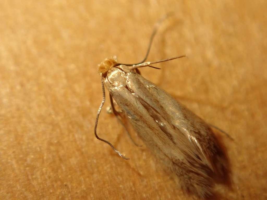 La mite des vêtements Tineola bisselliella mesure environ 6 à 8 mm. © alexis_orion, iNaturalist