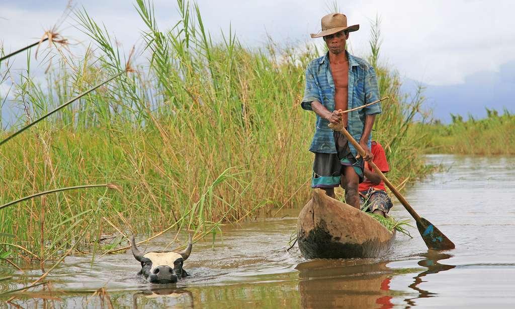 Zébu nageur et piroguiers, Madagascar