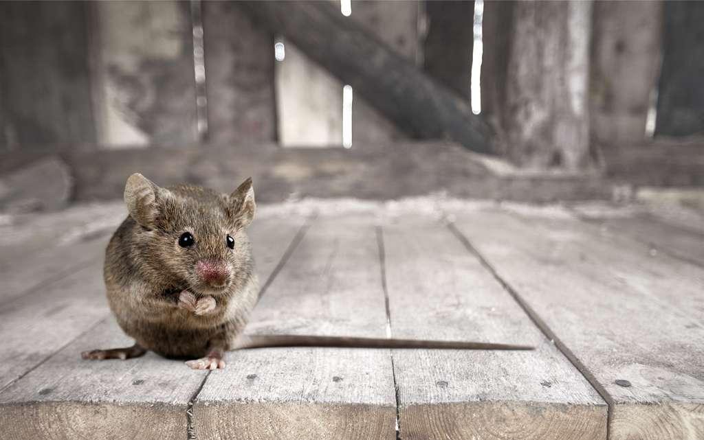 Certaines souris mâles ont été castrées pour évaluer une possible différence de comportement. Aucun changement n'a été observé. © BillionPhotos.com, Adobe Stock
