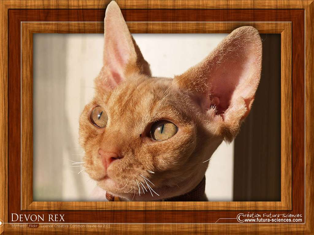 Chat Devon rex