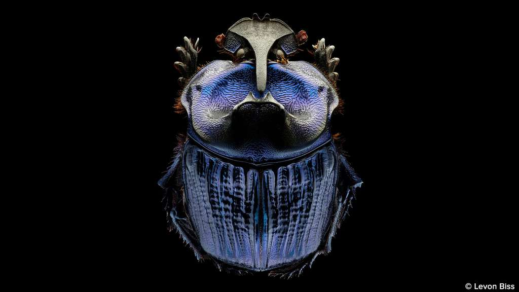 Coprophanaeus lancifer, le scarabée guerrier violet d'Amazonie