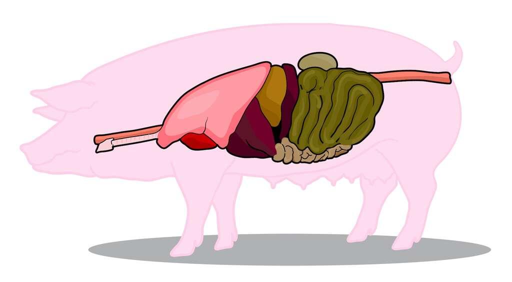 Le cochon est un bon candidat pour produire des organes de remplacement humains. © vetza_yayo, Adobe Stock