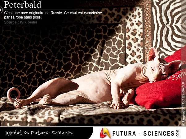 Chat : Peterbald
