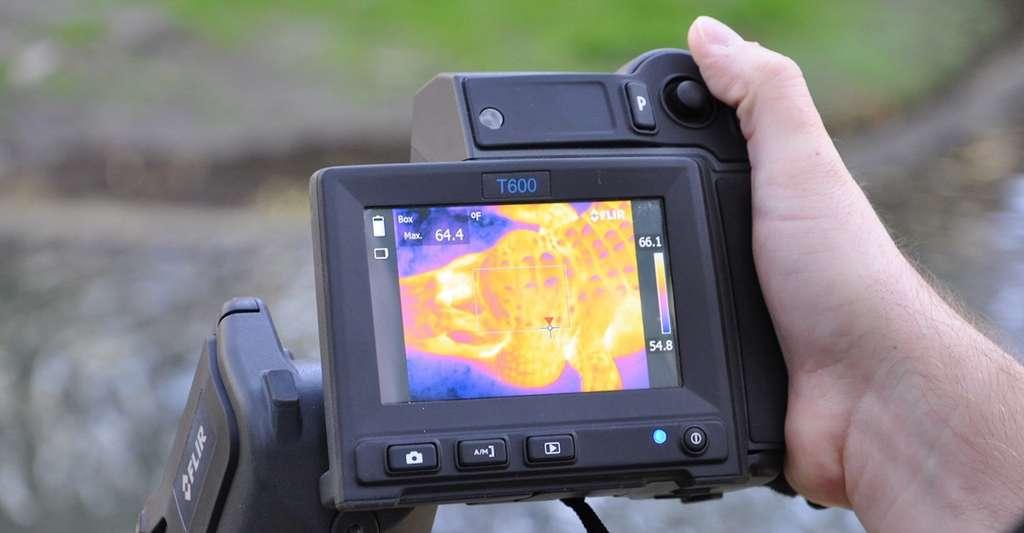 Un système d'imagerie thermique — qui traduit la chaleur en lumière visible — a permis aux chercheurs de capter la chaleur corporelle des alligators au parc zoologique de la ferme St Augustine Alligator, en Floride. © Université du Missouri