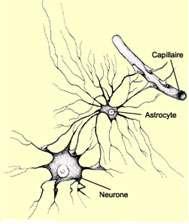 Schéma d'un neurone et d'un astrocyte.