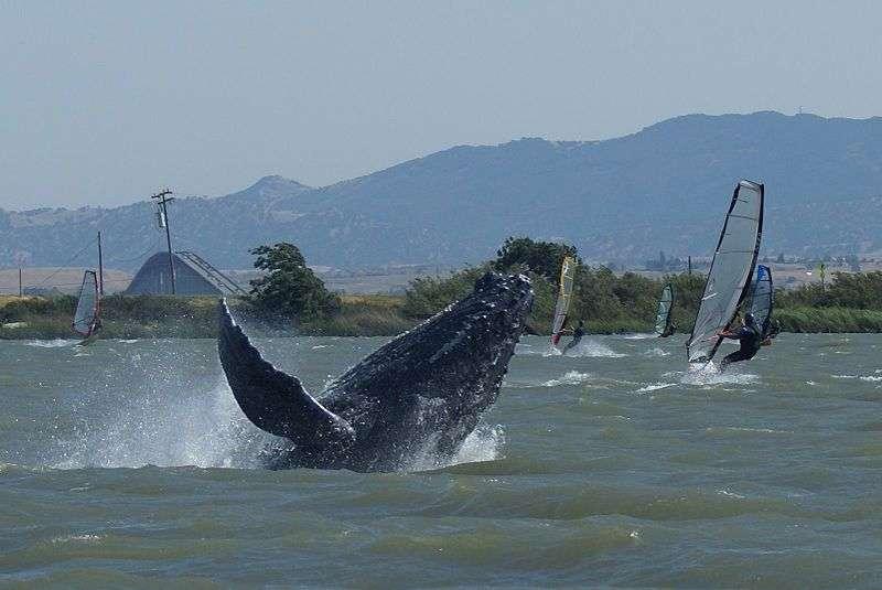 Baleineau au milieu de planches à voiles. © Sarah Wilkin, NOAA, domaine public