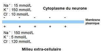 Concentrations ioniques au niveau de la membrane plasmique du neurone. Les gradients de concentration des ions sodium (Na+), potassium (K+) et chlorure (Cl-) conduisent à une polarisation de la membrane. Lorsque le neurone est activé, une onde de dépolarisation parcourt le neurone, grâce à des échanges ioniques au niveau de canaux membranaires. © MC Jacquier