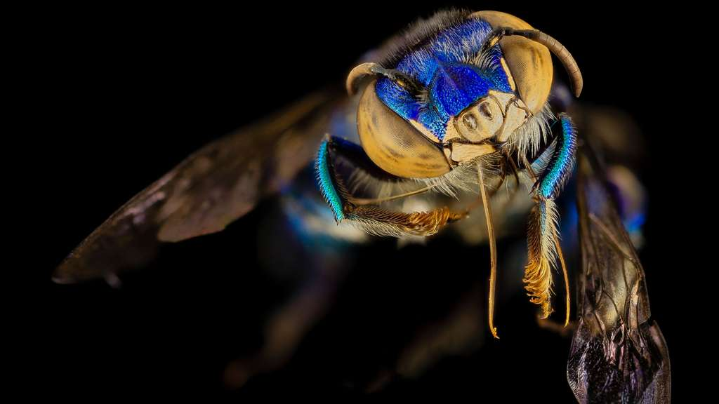 Une abeille à orchidées, en Guyane
