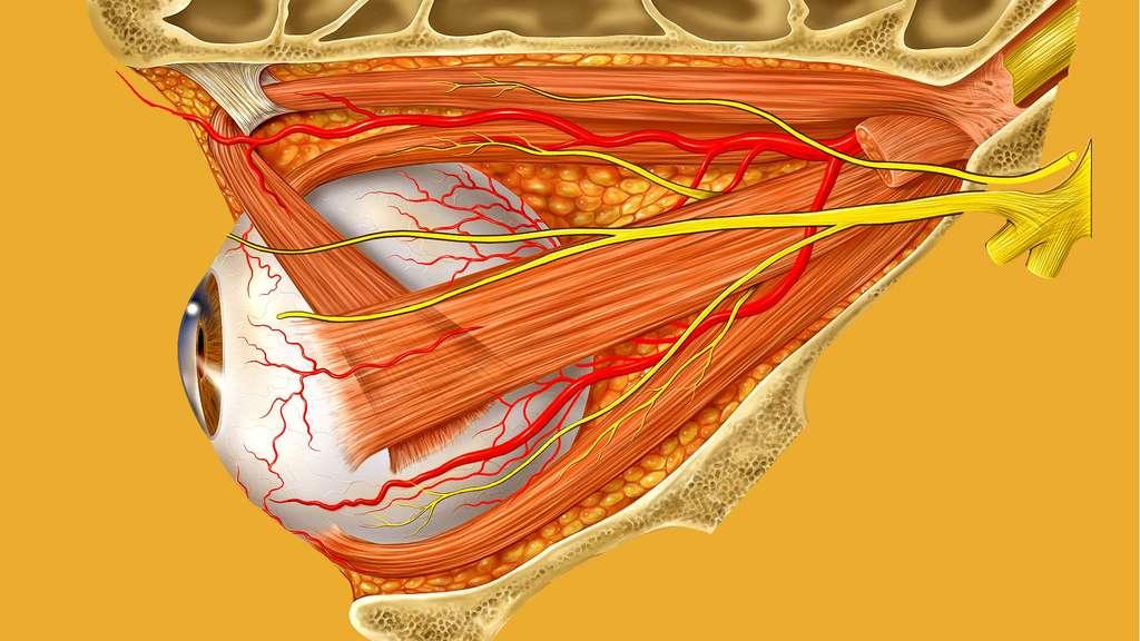 Muscle oblique et trochlée de l'œil