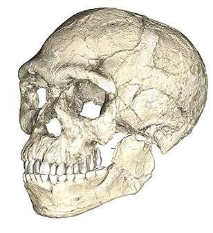 Le crâne des fossiles de Jebel Irhoud ressemble beaucoup, par la face et la dentition, aux Hommes modernes. En revanche, la forme du crâne est un peu différente. © Philipp Gunz, MPI EVA Leipzig, CC by-SA 2.0